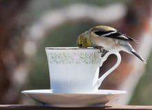 Goldfinch zur Tee-Zeit Stockbild