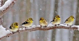 Goldfinches американца зимы Стоковые Фото