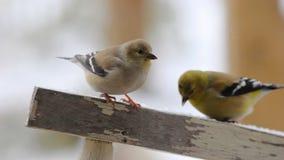 Goldfinches в снеге Стоковое Изображение RF
