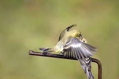 goldfinches меньшие Стоковая Фотография RF