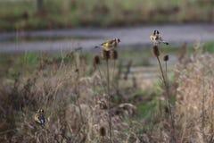 Goldfinches на ворсянке Стоковые Фото