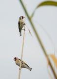 2 Goldfinches на тростнике Стоковое Изображение