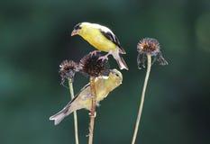 Goldfinches падения Стоковые Изображения