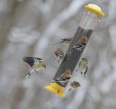 7 Goldfinches подавая на день зимы Стоковое Изображение