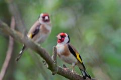 Goldfinches Стоковая Фотография