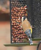 2 Goldfinches Стоковое Изображение
