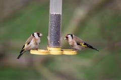goldfinches Стоковые Фото