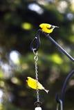 Goldfinches Fotografie Stock