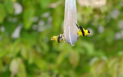 goldfinches Στοκ εικόνες με δικαίωμα ελεύθερης χρήσης