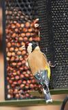 goldfinches Стоковая Фотография RF