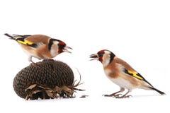 goldfinches Стоковые Изображения RF