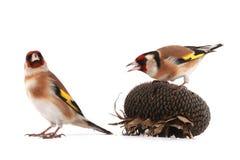 goldfinches Стоковые Изображения