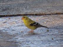 goldfinches Стоковое Изображение