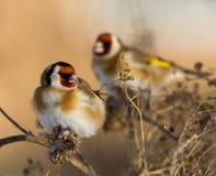 Goldfinches europeos en el burdock imagenes de archivo