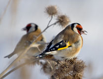 Goldfinches europeus Imagem de Stock
