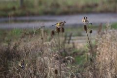 Goldfinches On Teasel Stock Photos