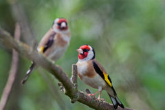 Goldfinches Stock Photography