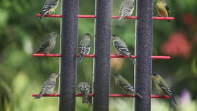 Goldfinches on a windy day stock video footage