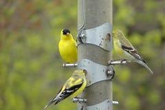 Goldfinchfamilie Lizenzfreies Stockbild