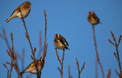 Goldfinchs. Photographie stock libre de droits