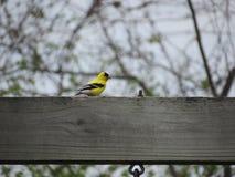 Goldfink auf Schwingen-Satz Stockfoto