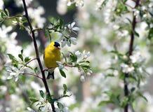 Goldfink und weiße Blüte Stockfoto