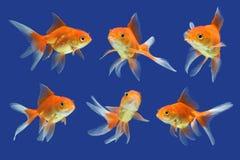 Goldfisch Lizenzfreie Stockbilder