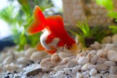 Goldfisch Lizenzfreies Stockfoto