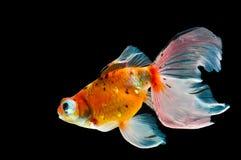 Goldfisch Stockbild