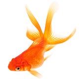 Goldfisch auf weißem Hintergrund Stockbilder