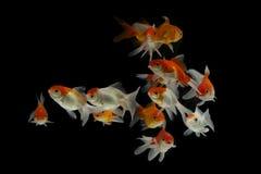 Goldfisch Carassius auratus Schwarzhintergrund stockfoto