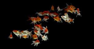 Goldfisch Carassius auratus Schwarzhintergrund stockbild