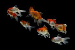 Goldfisch Carassius auratus Schwarzhintergrund stockfotografie