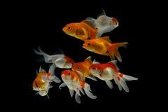 Goldfisch Carassius auratus Schwarzhintergrund lizenzfreie stockfotografie