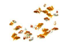 Goldfisch Carassius auratus wei?er Hintergrund stockfotos