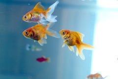 Goldfisch, der zu Hause in ein Aquarium schwimmt Carassius auratus stockfotos