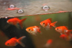 Goldfisch im Aquarium Stockfotos