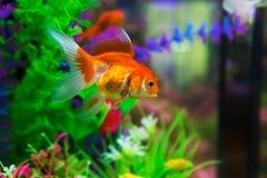 Goldfisch im Aquarium Stockfoto