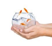 Goldfisch im Aquarium in der Hand Stockfoto