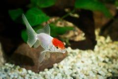 Goldfisch im Aquarium mit Grünpflanzen, Baumstumpf und Steinen Stockfoto