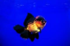 Goldfisch lionhead Stockfotografie