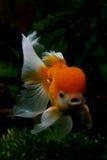 Goldfisch principal d'oranda de lion Photographie stock