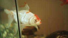 Goldfisch schwimmt in ein schlammiges schmutziges Aquarium stock footage