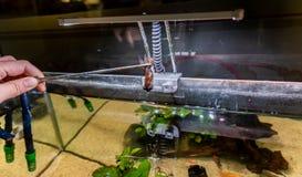 Goldfisch starb im Frischwasseraquariumbeh?lter stock abbildung