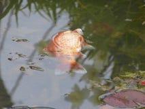 Goldfisch, tot Lizenzfreie Stockbilder
