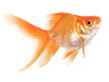 Goldfische auf weißem Hintergrund Stockbilder