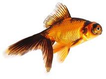 Goldfische auf weißem Hintergrund Stockfotografie