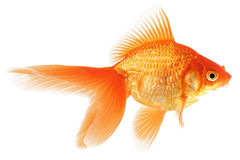 Goldfische auf weißem Hintergrund Stockfoto