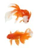 Goldfische auf weißem Hintergrund Lizenzfreies Stockfoto