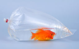 Goldfische in der Plastiktasche Stockfotos